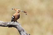 Hoopoe (Upupa epops) with a mole cricket in the beak