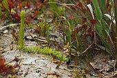 Inundated club moss (Lycopodiella inundata), Mont d'Arrée, Finistère, Brittany, France