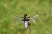 Eurasian red dragonfly (Libellula depressa ) on a twig, France