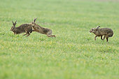 European hare (Lepus europaeus) March madness in a polder, France