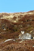 Mountain Hare (Lepus timidus) in the moor, Scotland