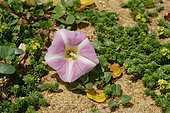 Beach Morningglory (Calystegia soldanella) flower in a dune Landes, France