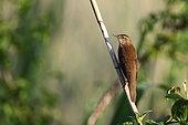 Savi's Warbler (Locustella luscinioides) singing in a reed bed, Camargue, Bouches du Rhône, France