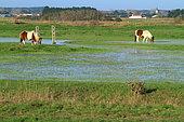 Marsh landscape with ponies, Breton-Vendée marsh, Vendée, France