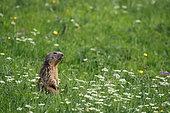 Alpine Marmot (Marmota marmota) standing in a meadow, Vanoise National Park, Alps, France