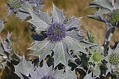 Seaside eryngo (Eryngium maritimum) emblem of the Conservatoire du Littoral, Manche, Normandy, France