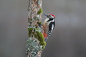 Middle Spotted Woodpecker (Dendrocopos medius) on a tree trunk, France