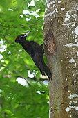 Black Woodpecker (Dryocopus martius) female entrance to its nest, France