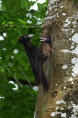 Black Woodpecker (Dryocopus martius) female entrance to its nest, feeding its young, France