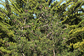 Maritime pine (Pinus pinaster) cones on the tree, France