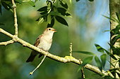 Rufous Nightingale (Luscinia megarhynchos) singing on a branch in spring, France