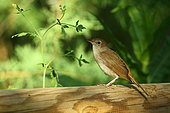 Rufous Nightingale (Luscinia megarhynchos) on a garden fence in the spring, France