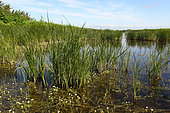 Cosmopolitan bulrush (Bolboschoenus maritimus) in a marsh, France