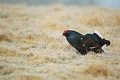 Black grouse (lyrurus tetrix) male during the courtship, Scotland