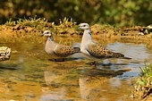 European Turtle Dove (Streptopelia turtur) couple getting refreshed at spring in spring, France