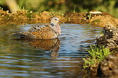 European Turtle Dove (Streptopelia turtur) getting refreshed at spring in spring, France