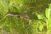 Crested newt (Triturus cristatus) male in aquatic phase, France