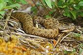 Aspic Viper (Vipera aspis), France