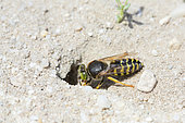 Sand Wasp (Bembix tarsata) digging its burrow, Aquitaine, France