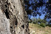 Grey cicada (Cicada orni) in an olive grove, Provence, France