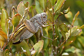 White-faced bush Cricket (Decticus albifrons) in foliage, Luberon, France