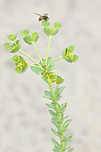 Sea Spurge (Euphorbia paralias) in bloom, France