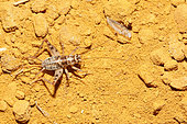 Wingless house-cricket (Gryllomorpha dalmatina) in an ocher quarry, Luberon, France