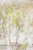 Ballast Toadflax (Linaria spartea) in bloom in sand, Aquitaine, France