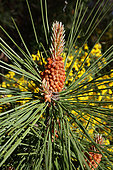 Maritime pine (Pinus pinaster) Flower in front of broom, Pinède du Bassin d'Arcachon, France