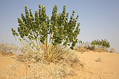 Roostertree (Calotropis procera) in bloom, Rajasthan Desert, India
