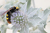 Mammoth Wasp (Megascolia maculata) on Seaside Eryngo (Eryngium maritimum), France