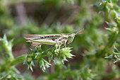 Grasshopper (Calephorus compressicornis) on stem, Arcachon Basin, France
