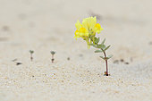 Toadflax (Linaria thymifolia) in bloom on the sand, Arcachon Basin, France