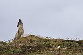 Arctic fox (Alopexlagopus) female calling his young. Jameson Land, Greenland, Northeast