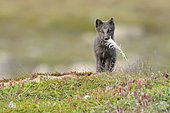 Young Arctic Fox (Alopex Lagopus) with a feather in tundra, Jameson Land, Northeast Greenland