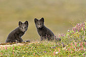 Young Arctic Foxes (Alopex Lagopus) in tundra, Jameson Land, Northeast Greenland