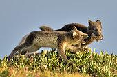 Renardeaux polaires (Alopex Lagopus) jouant, Jameson Land, Groenland Nord-Est