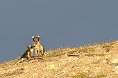 Renardeau Polaire (Alopex Lagopus) et sa mère dans la toundra, Jamson Land, Groenland Nord Est