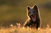 Young Arctic Fox (Alopex Lagopus) yawning in tundra, Jameson Land, Northeast Greenland