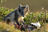 Young Arctic Fox (Alopex Lagopus) eating a young goose in tundra, Jameson Land, Northeast Greenland