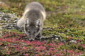 Young Arctic Fox (Alopex Lagopus) in tundra, Jameson Land, Northeast Greenland