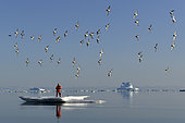Kayaker on an ice sheet with a flight of sandpipers in the Scoresbysund, North East Greenland