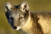 Portrait of Polar Fox (Vulpes lagopus), Jameson Land, North East Greenland