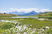 Tall cottongrass (Eriophorum angustifolium), Guichard peat bog, Aiguilles d'Arves, Alps, France