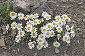Alpine Oxeye (Leucanthemopsis alpina) in bloom, French Alps