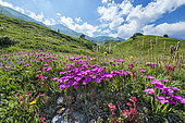 Peacock-Eye Pink (Dianthus pavonius) in bloom, Mont Cenis, Alps, France