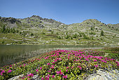 Alpine Rose (Rhododendron ferrugineum) in bloom, Cristol lake, Vallée de la Clarée, Alps, France