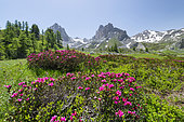 Alpine Rose (Rhododendron ferrugineum) in bloom, Crêtes du Diable et du Raisin, Vallon du Chardonnet, Vallée de la Clarée, Alps, France