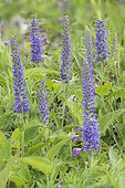 Spike Speedwell (Veronica spicata) in bloom, Mont Cenis, Alps, France