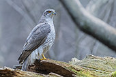 Northern Goshawk (Accipiter gentilis), side view of an adult standing on an old trunk, Podlachia, Poland